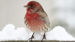 A House Finch rests on a porch railing in Michigan. photo by Emily Tornga