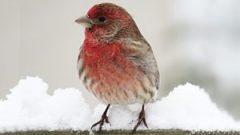 Alien Invasion: Predicting the Spread of Invasive Bird Species