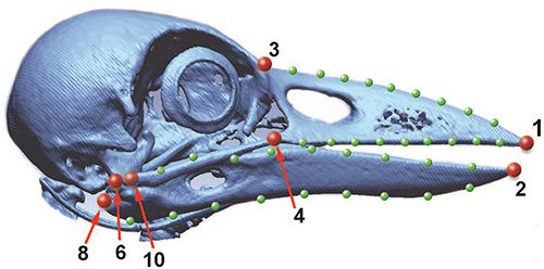 A 3-D reconstruction of the New Caledonian Crow skull with key measuring points. Image courtesy Matsui et al. (2016).