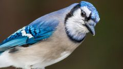 Blue Jay by Bruce Gates