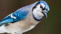 Blue Jay by Bruce Gates