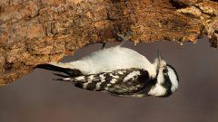 Downy Woodpecker by Ray Hennessy via Birdshare