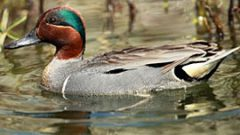 Be a Better Birder: Duck and Waterfowl Identification Course