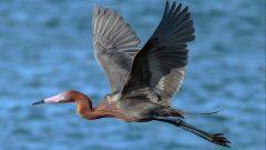 Reddish Egret by Duc Dinh