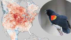 Short Distance Migrants Have More Flexibility in Response to a Spring Heat Wave