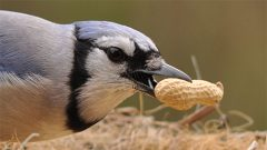 Blue Jay gathering a peanut. Photo by Deborah Bifulco via Birdshare.