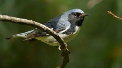 Black-throated Blue Warblers have a high mortality rate during migration. photo © Mike Bourdon