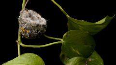 The Artistry of an Anna's Hummingbird Nest