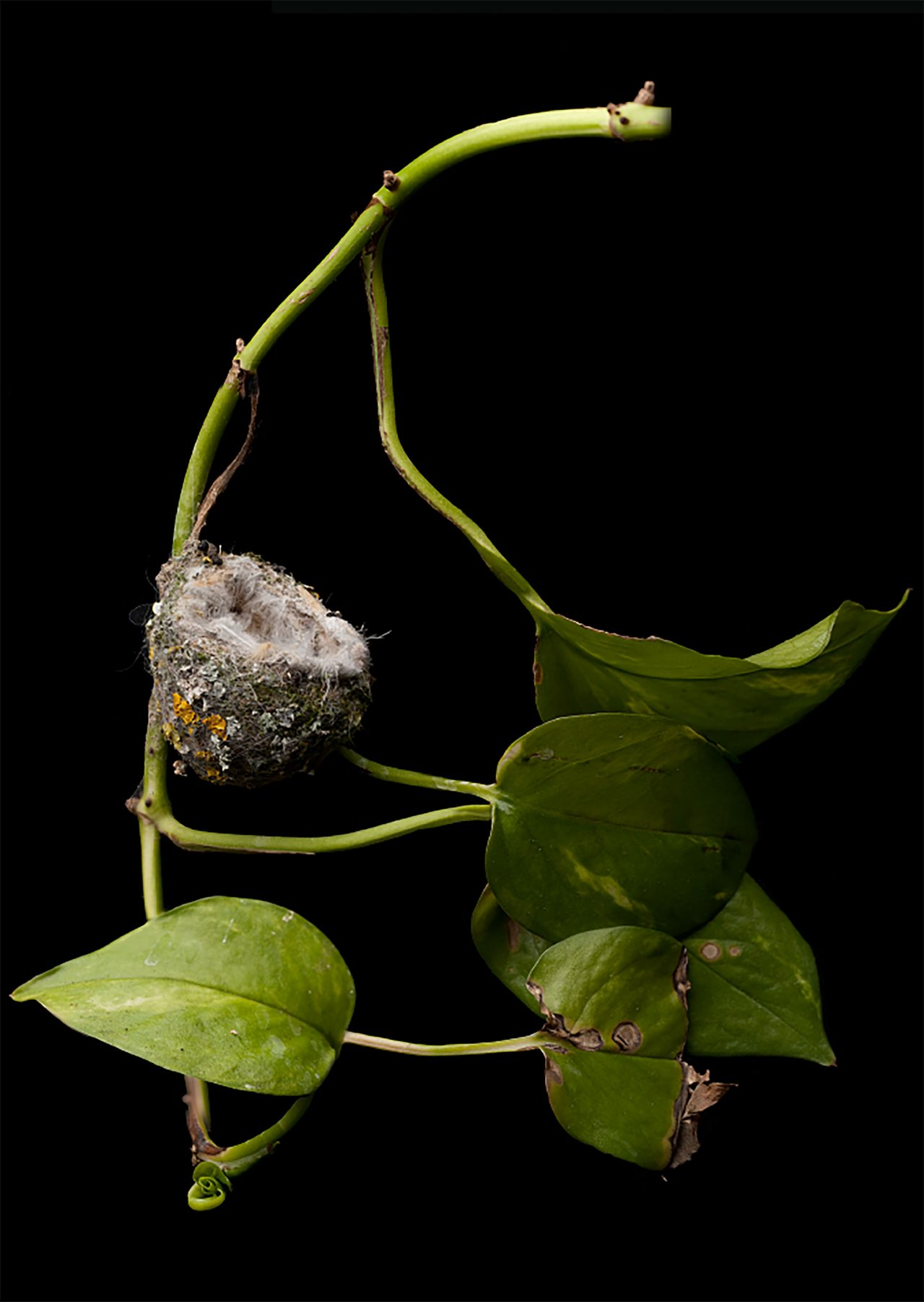 The Artistry Of An Annas Hummingbird Nest All About Birds