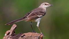 Mockingbirds Can Learn Hundreds of Songs, But There's a Limit