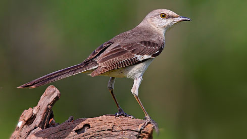 Northern Mockingbird by Gary Kramer