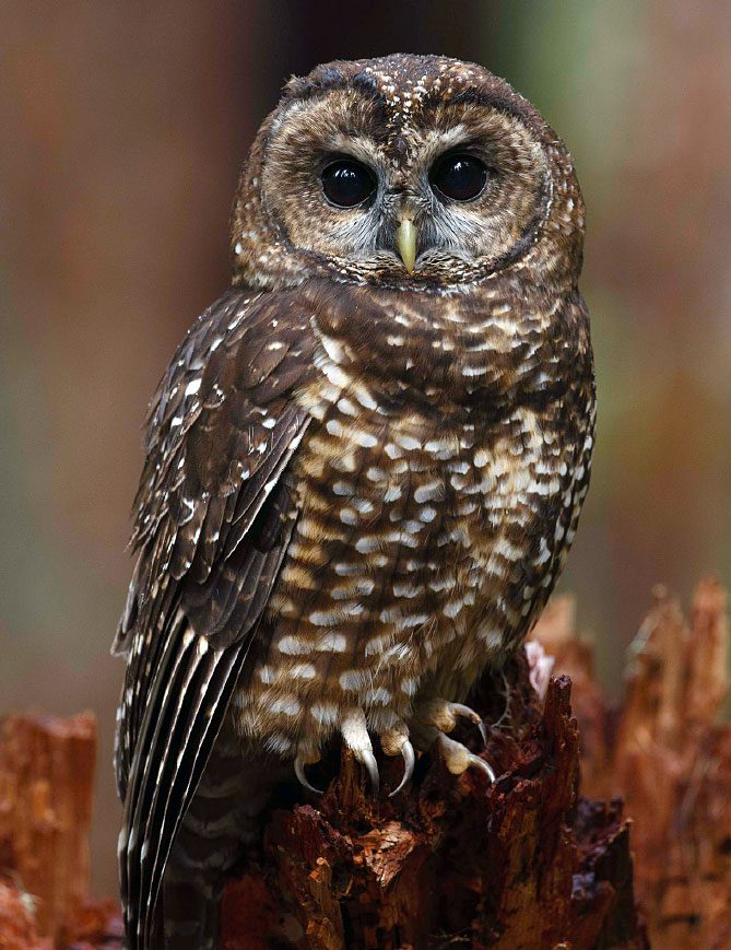 Spotted Owl by Gerrit Vyn