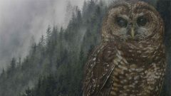 Northern Spotted Owl and woods by Gerrit Vyn