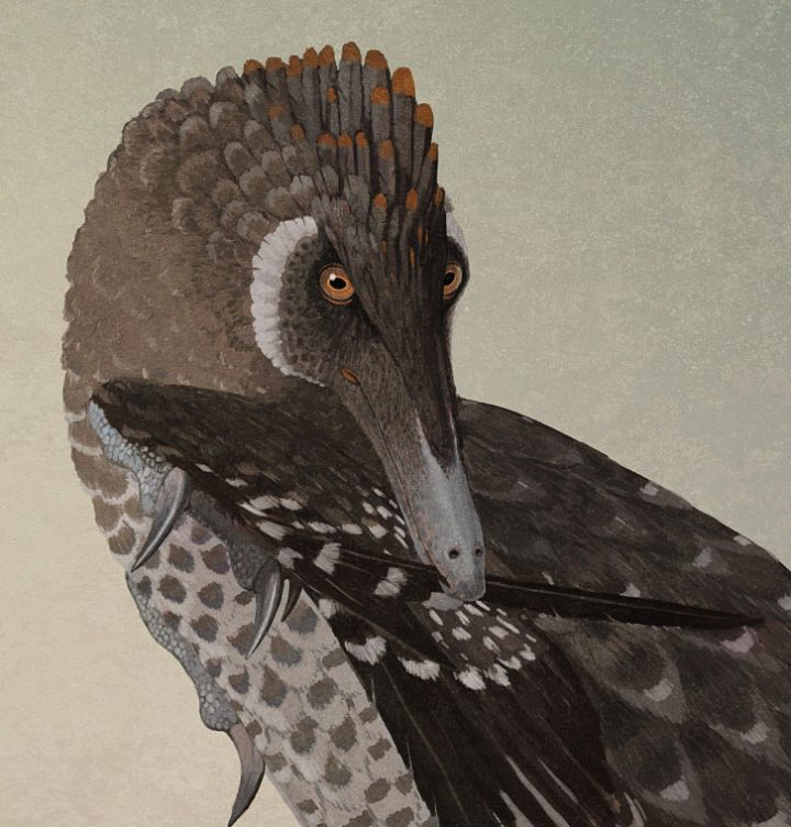 preening velociraptor dinosaur with feathers