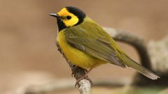 Hooded Warbler by Evan Lipton/Macaulay Library
