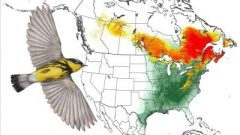Magnolia Warbler: Animated Abundance Map from State of North America's Birds 2016