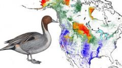 Northern Pintail: Animated Abundance Map from State of North America's Birds 2016