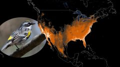 Yellow-rumped Warbler: Animated Abundance Map from State of North America's Birds 2016