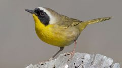 Common Yellowthroat by Ganesh Jayaraman via Birdshare