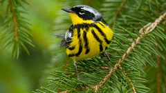 Magnolia Warbler by Marie Read.