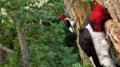 Woodpeckers à la Audubon