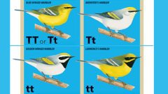 New research from the Cornell Lab of Ornithology's Fuller Evolutionary Biology Program shows that the genetic differences between Goldenwinged and Blue-winged Warblers are found in just six regions (or .03 percent) of their entire genomes. One of those regions contains genes that control throat coloration. Illustrations by Liz Clayton Fuller, Bartels Science Illustration Intern.