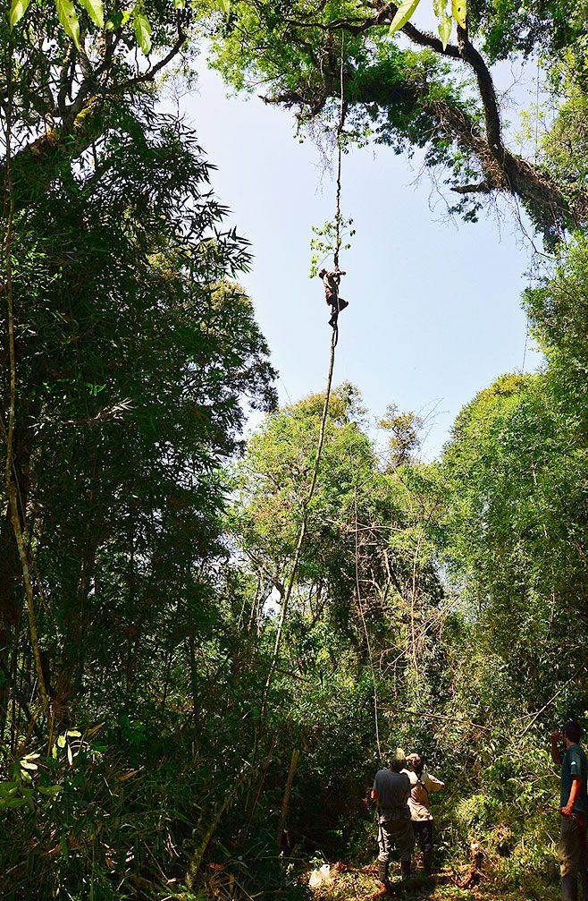 Setting up mist nets for Helmeted Woodpeckers 45 feet high in the rainforest—where they roost and nest—is risky business. A member of Lammertink's crew shimmied up a vine to attach a bolt for the cord-and-pulley system Photo by Tim Gallagher