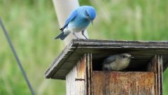 Timing Counts When Birds Battle Over Nest Boxes