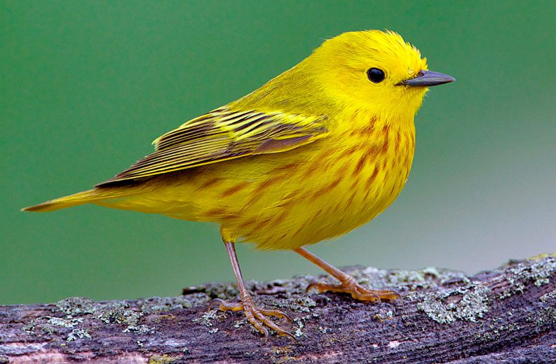 Yellow Warbler by Olivier Levasseur via Birdshare