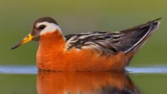 Red Phalarope by B.N. Singh via Birdshare