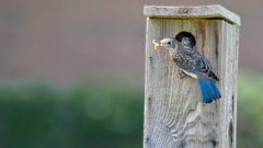 Rare Helping Behavior Observed in Eastern Bluebirds