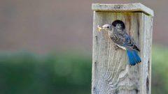 Rare Helping Behavior Observed in Eastern Bluebirds