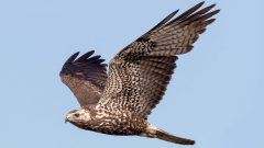 ID Tips for Raptor-Watching Season: Use Tail and Wing Shape