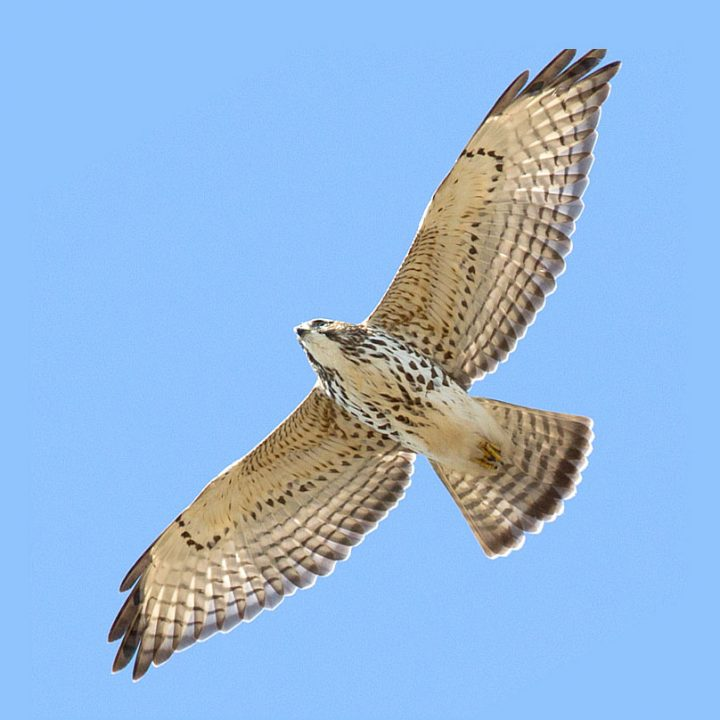 Broad-winged Hawks have moderately pointed wings. Photo by Brian Sullivan.