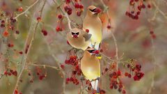 Cedar Waxwings by Marie Reed