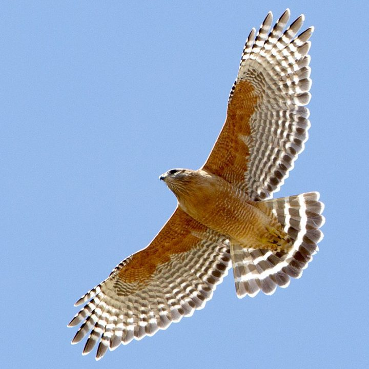 Red-shouldered Hawks have forward-arching, squared-off wings. Photo by Brian Sullivan.