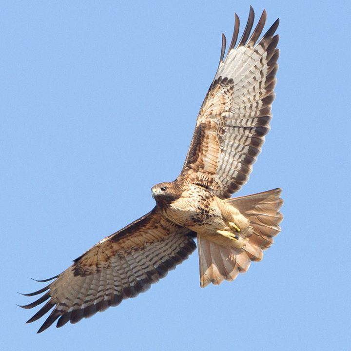 Red-tailed Hawks have long and broad wings. Photo by Brian Sullivan.