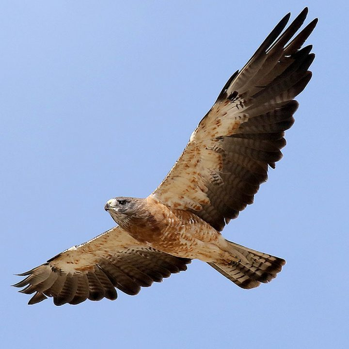 Swainson's Hawks have narrower, more pointed wings. Swainson's Hawk by Steve Bennett/Macaulay Library