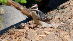 Hairy Woodpecker by Steve Voght
