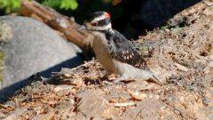 Hairy Woodpecker by Steve Voght
