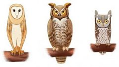 Owls in pellet kit- Birdsleuth
