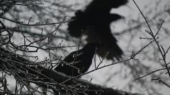 crows, photo by NCReedplayer