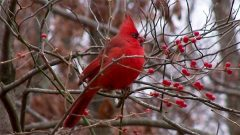 NOrthern Cardinal by James Holsinger, eBird