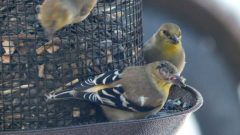 Eye Disease in American Goldfinch