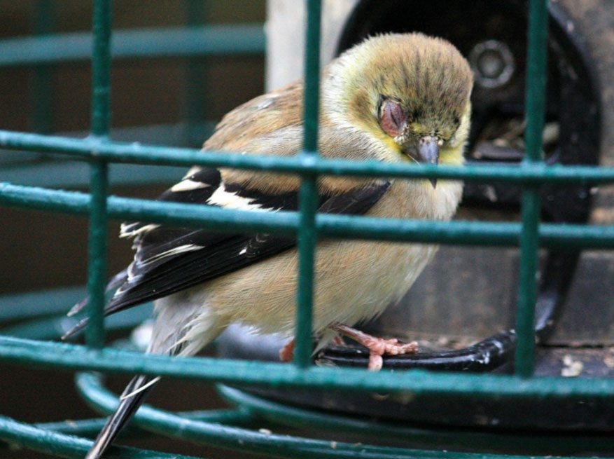 Disease can spread among birds of different species. And feeders are a hotspot for disease spread. Here, and American Goldfinch shows an infected eye. Photo by TheWorldThroughMyEyes via Birdshare.
