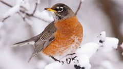 American Robin by David Stimac