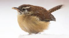 Carolina Wren by Marie-Ann D