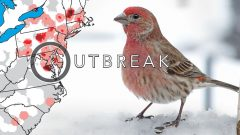 House Finch Eye Disease: Outbreak, Then Understanding