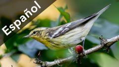 Coffee story- spanish version-Blackburnian Warbler