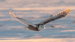 Snowy Owls Aren't Starving: Two Canadian Farmers Help Bust a Pervasive Myth